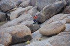 Leaping between boulders