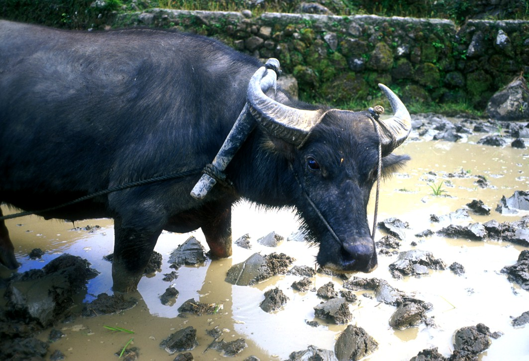 Unhappy carabao