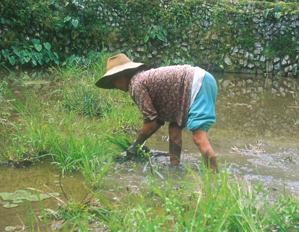 To prepare the rice patty, a woman pulls weeks, then pushes them deep into the mud to rot