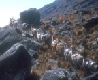 Llamas carry gear to/from base camp
