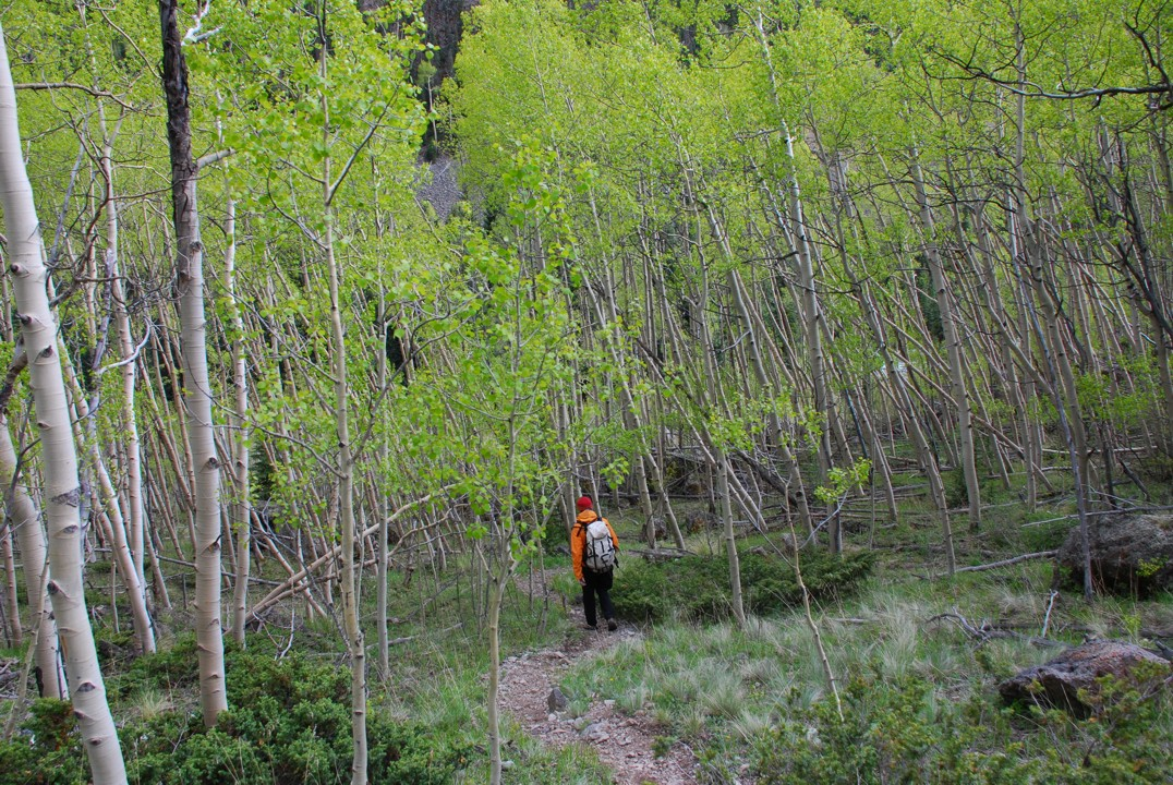 Descending in the rain through a grove of aspens; we picked up a hundred ticks here