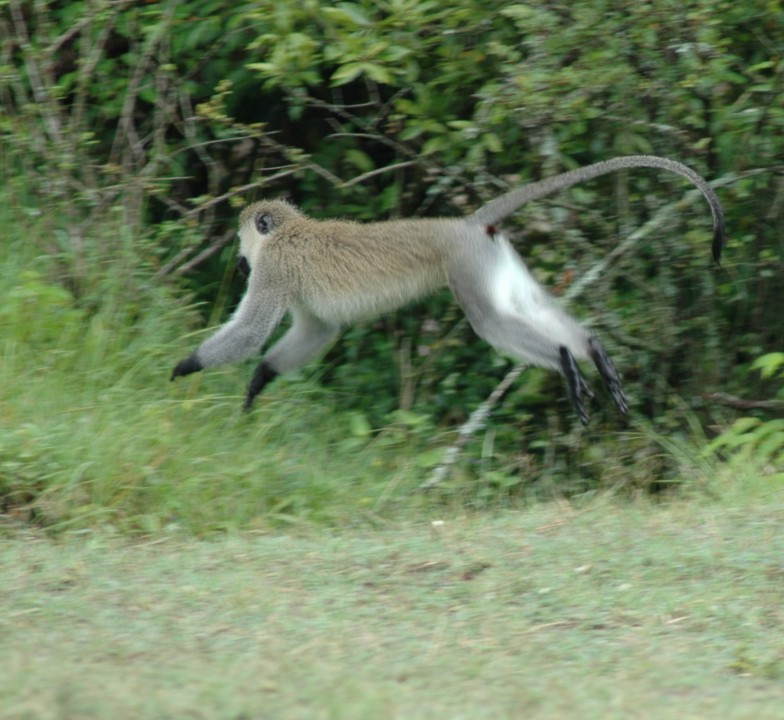 Jumping vervet monkey