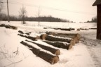 Lots of maple logs in the skidding area