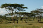 Acacia trees; the vegetation here is very thick, making good cover for animals and bad for safaris