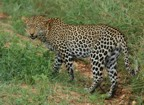 We saw this leopard on our drive through Tsavo West