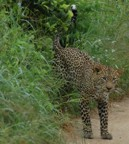 Another view of the leopard we saw